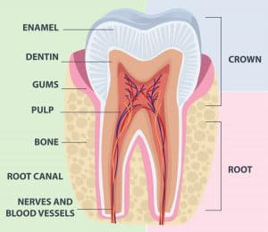 Tooth_Anatomy_3