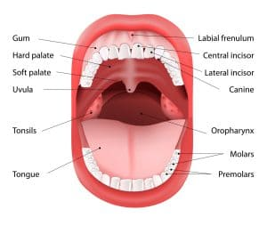 Anatomy_of_Mouth_2